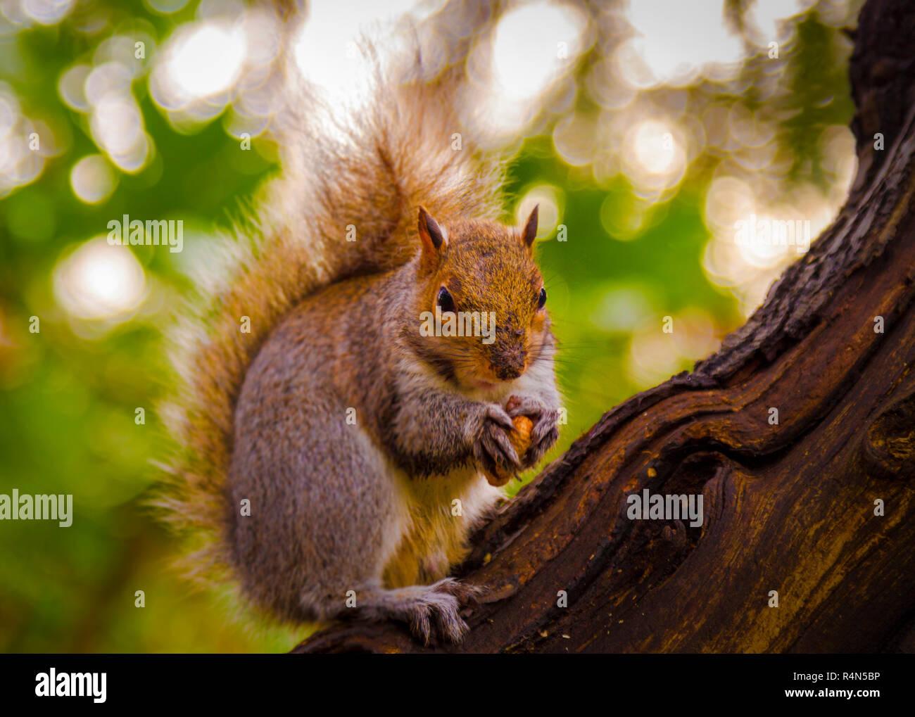 L'écureuil de jardin Photo Stock