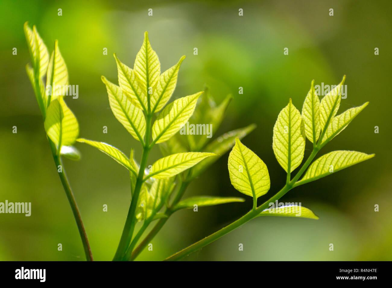 La croissance de nouvelles feuilles de l'Arbre Vert au printemps Photo Stock