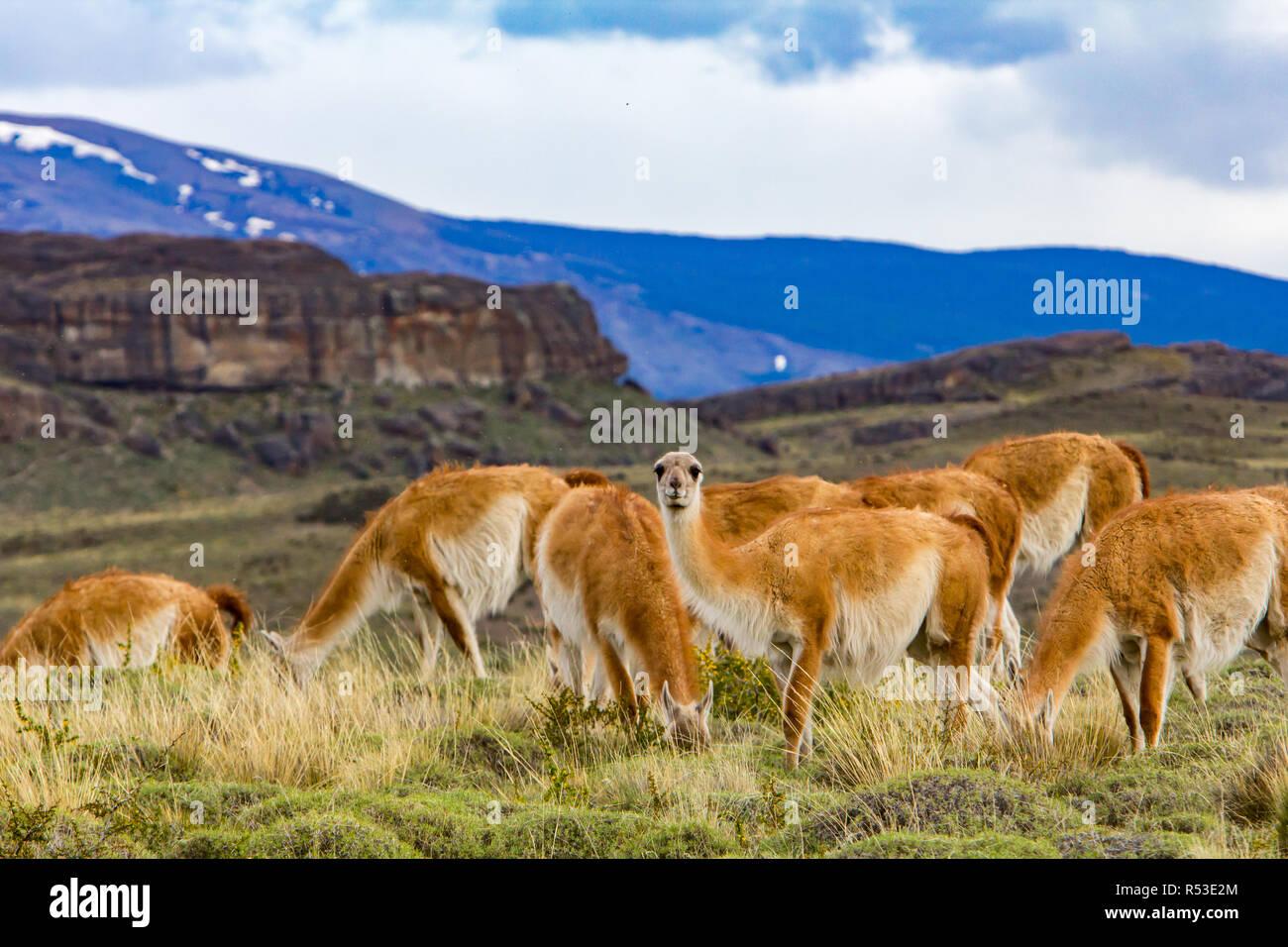 Guanacos sont l'un des membres de la famille de chameaux trouvés dans le nouveau monde, ici à Torres del Paine, Chili Banque D'Images
