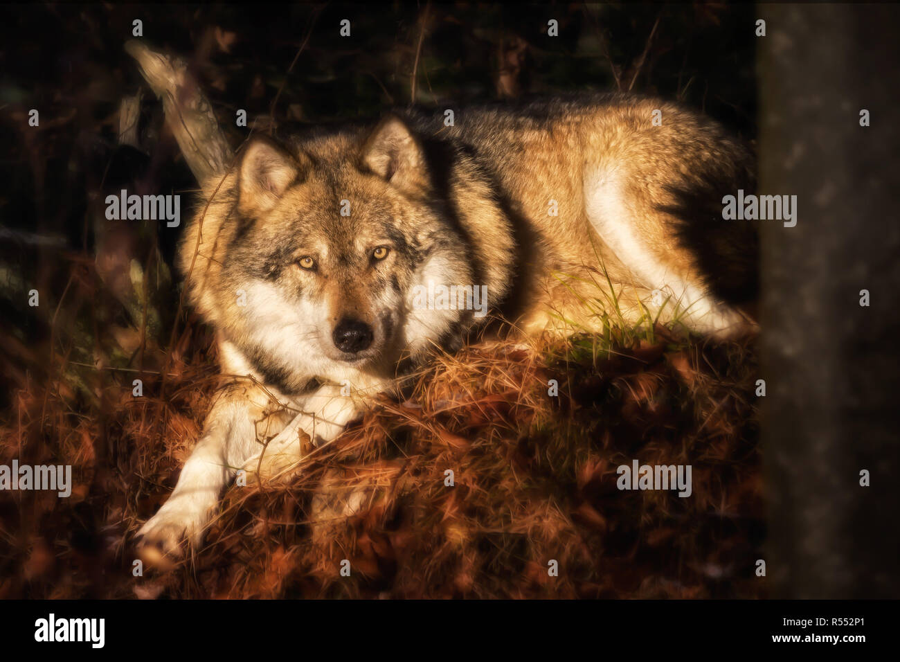 Loup couchée sur le feuillage à la recherche de l'appareil photo Photo Stock