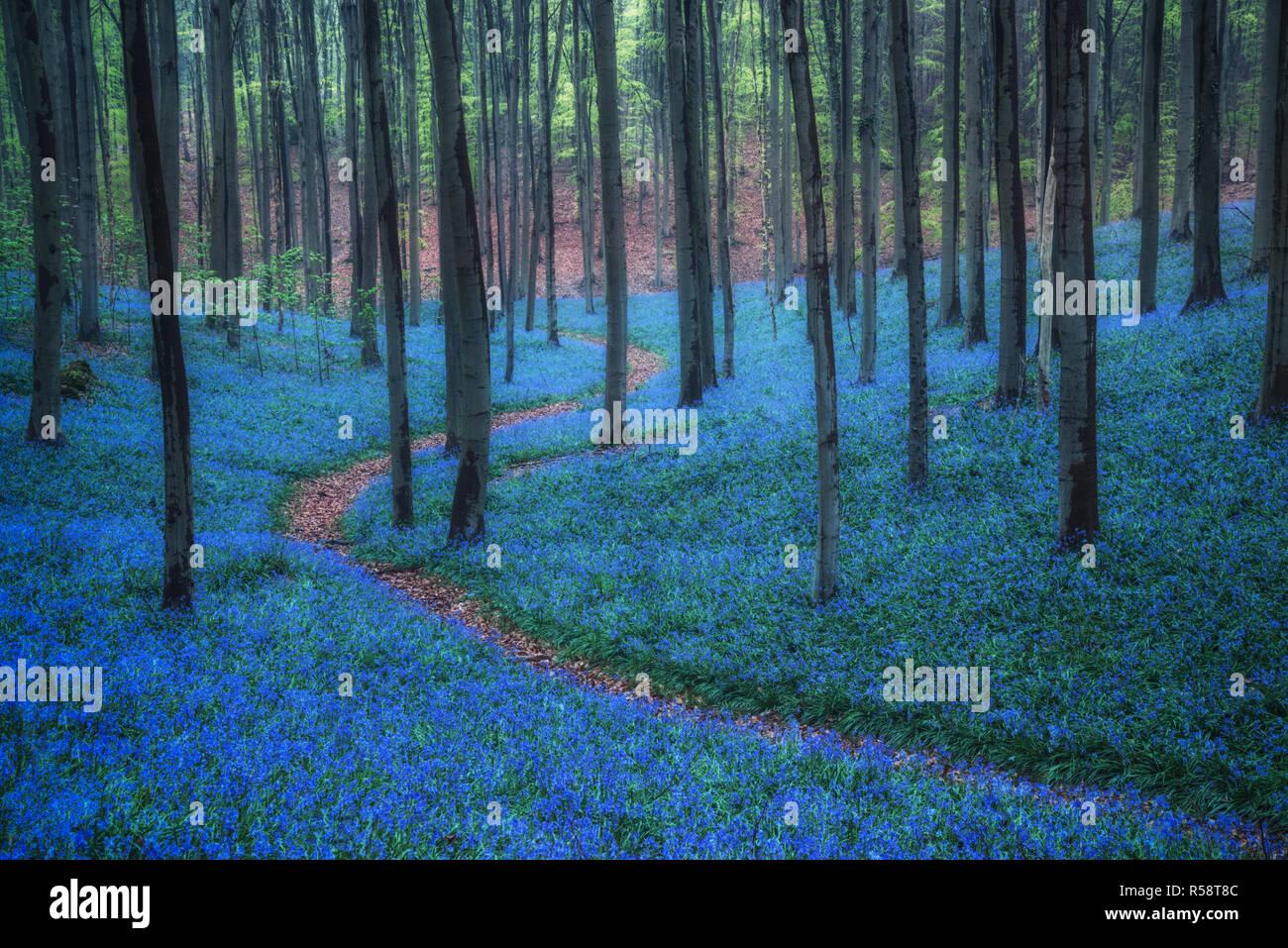 Blue Hour sur Bluebells, Hallerbos, Belgique Banque D'Images