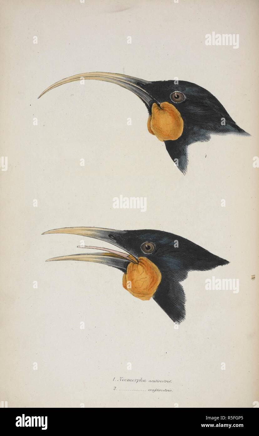 Neomorpha acutirostris et Neomorpha crassirostris . Wattlebird de Nouvelle-Zélande. Passereaux. L'évaluation de l'impact humain. Un synopsis des oiseaux de l'Australie et les îles adjacentes. pt. 1 à 4. Londres, 1837-1838. Source: 730.l.7 planche 11. Auteur: Gould, John. Banque D'Images