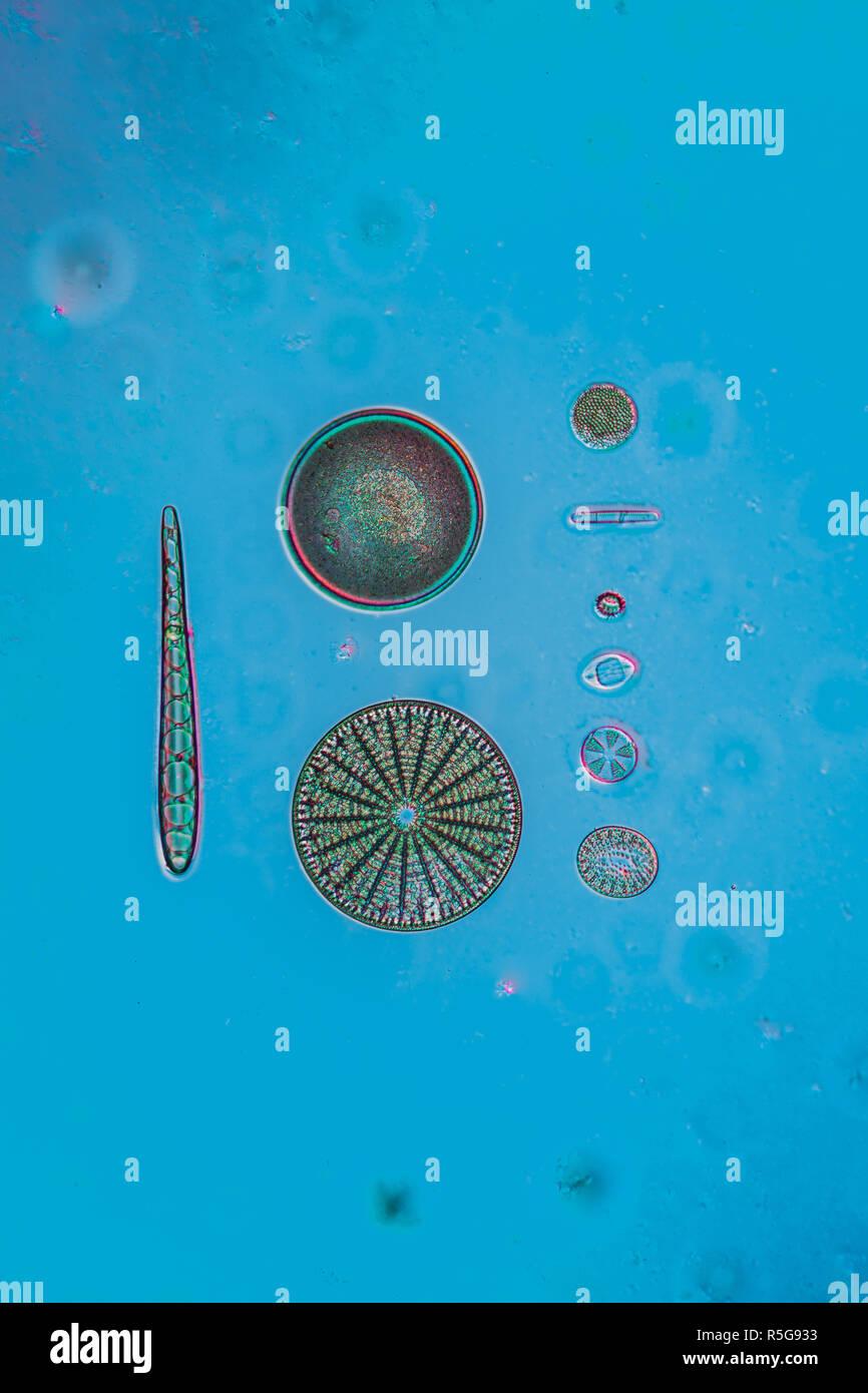 Les diatomées dans l'eau Banque D'Images