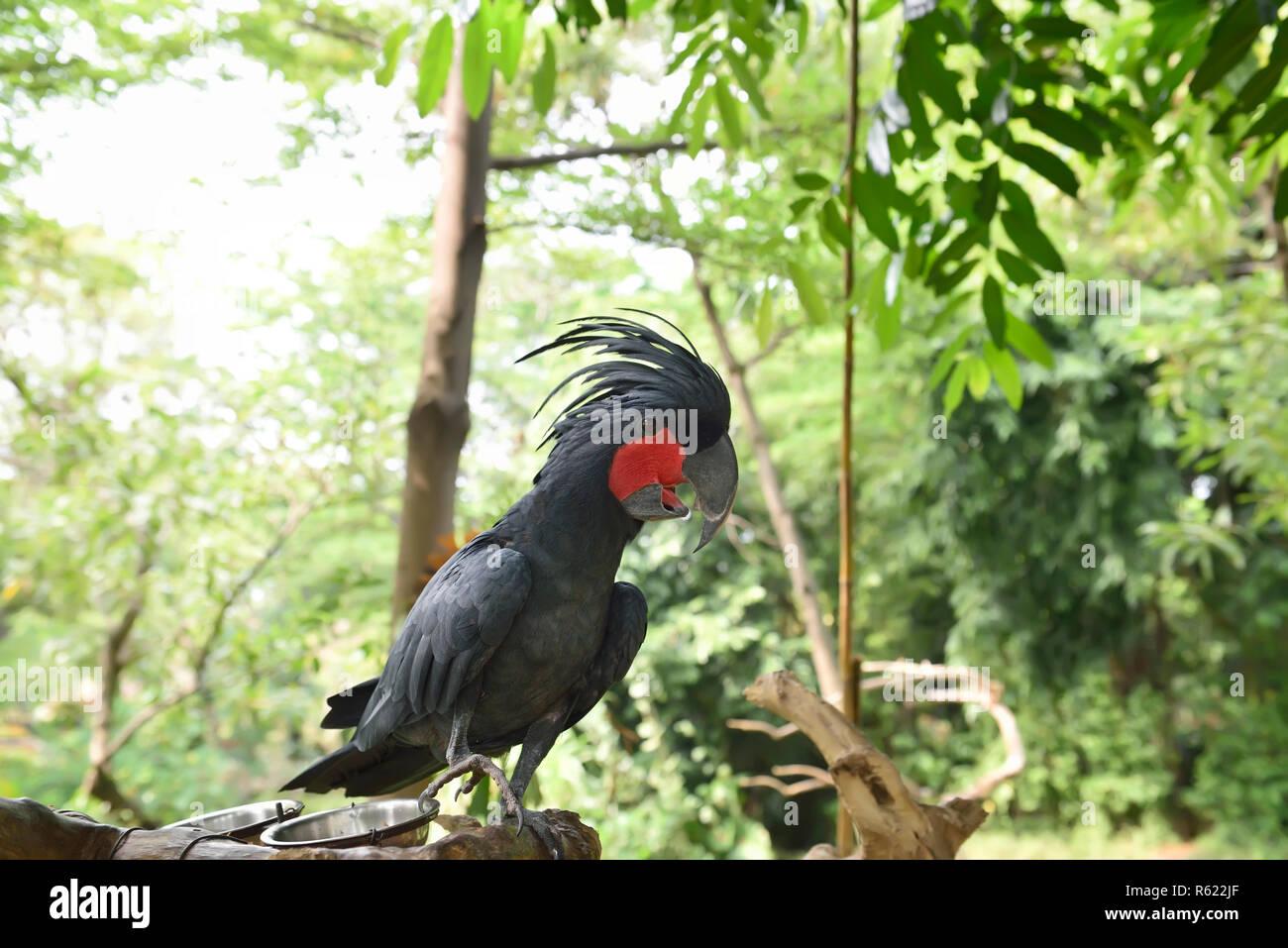 Cacatoès noir (Probosciger aterrimus palm) percher sur la branche Banque D'Images
