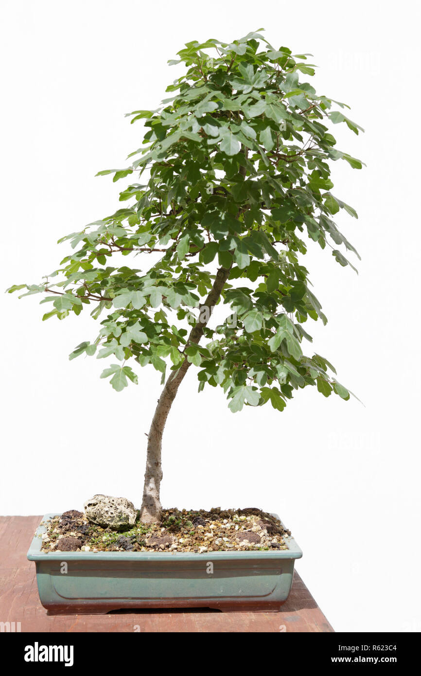 Bonsai Maple Photos Bonsai Maple Images Alamy