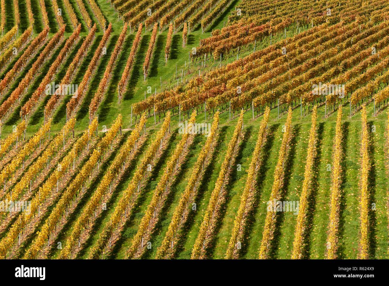 Vignes en automne Banque D'Images