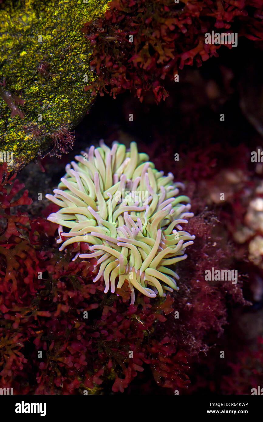 Anémone Actinia equina (Beadlet) dans la piscine dans les rochers, anémone de mer trouvés sur les rivages rocailleux de l'Europe de l'Ouest et la mer Méditerranée à l'Afrique du Sud Photo Stock