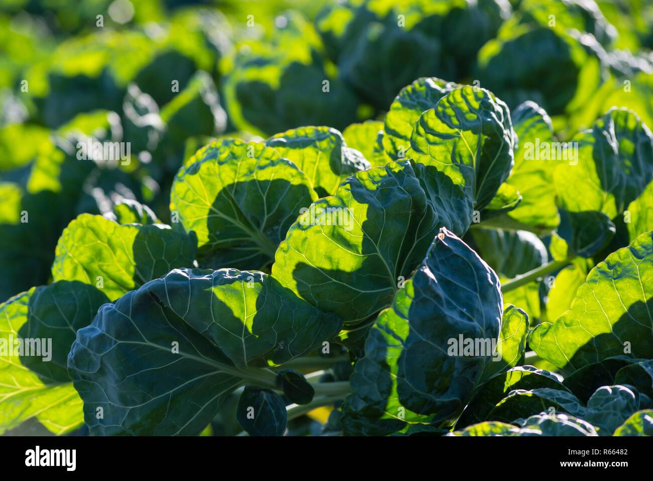Choux bio sur une parcelle de terrain végétale à faible soleil qui brille à travers les feuilles Photo Stock