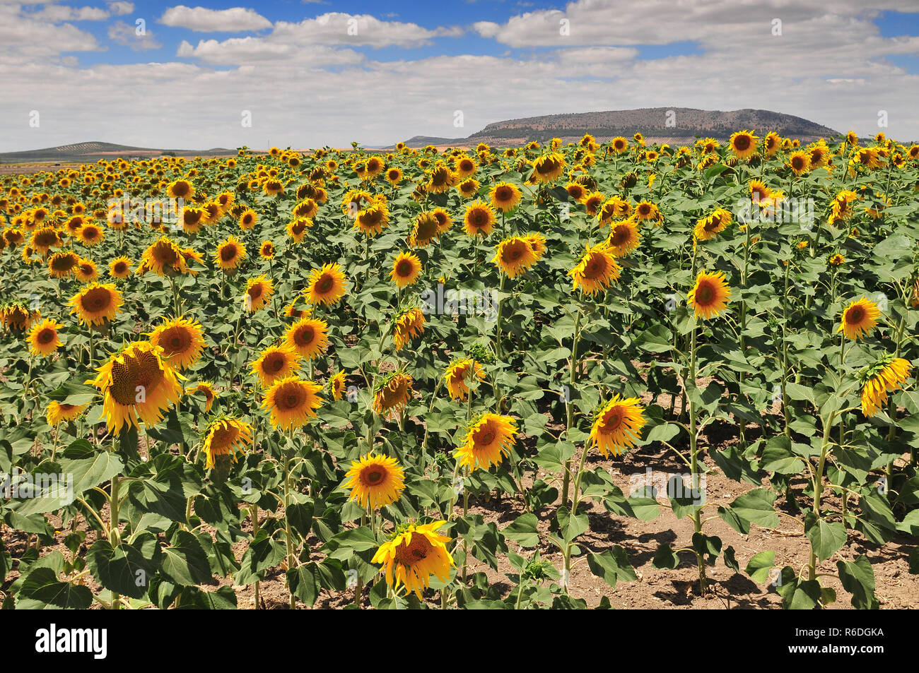 Champ de tournesol (Helianthus annuus), Costa De La Luz, Cadix Province, Andalusia, Spain Photo Stock