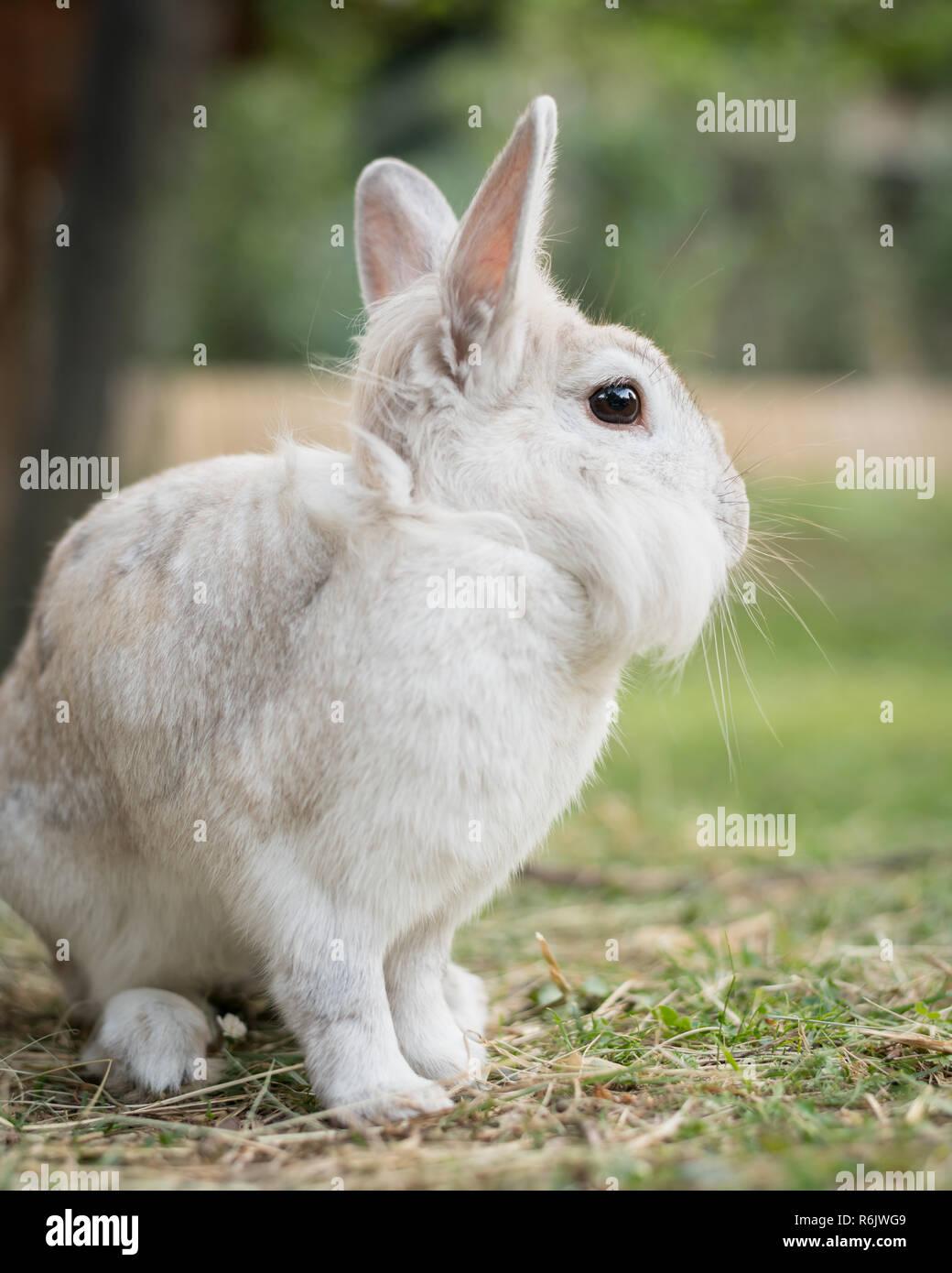 Un lapin nain blanc (lions head) assis dans l'herbe, manger Banque D'Images