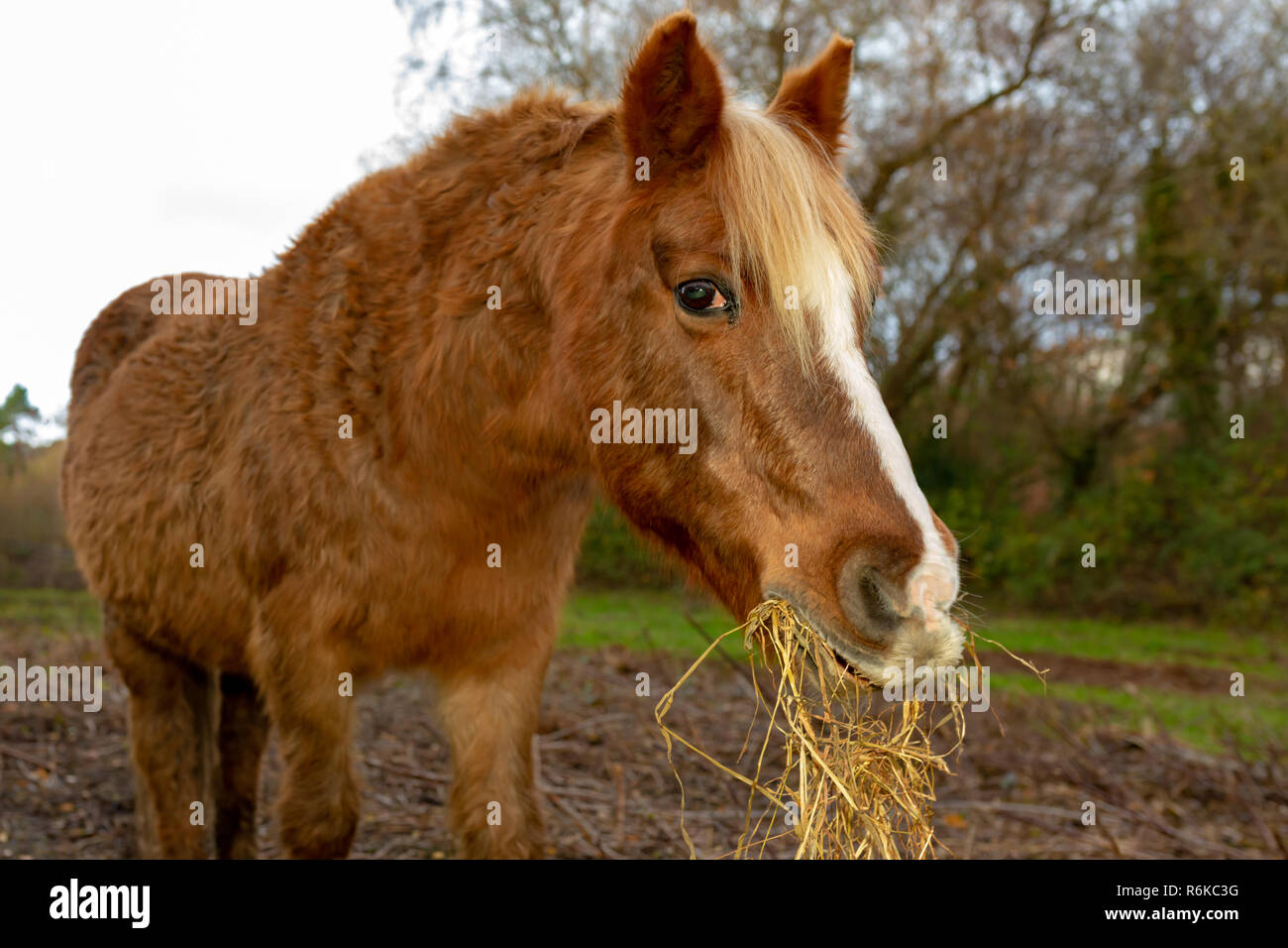 Portrait d'un animal de couleur brune cultivée avec de la paille de l'alimentation poney se balançant d'bouche. Photo Stock