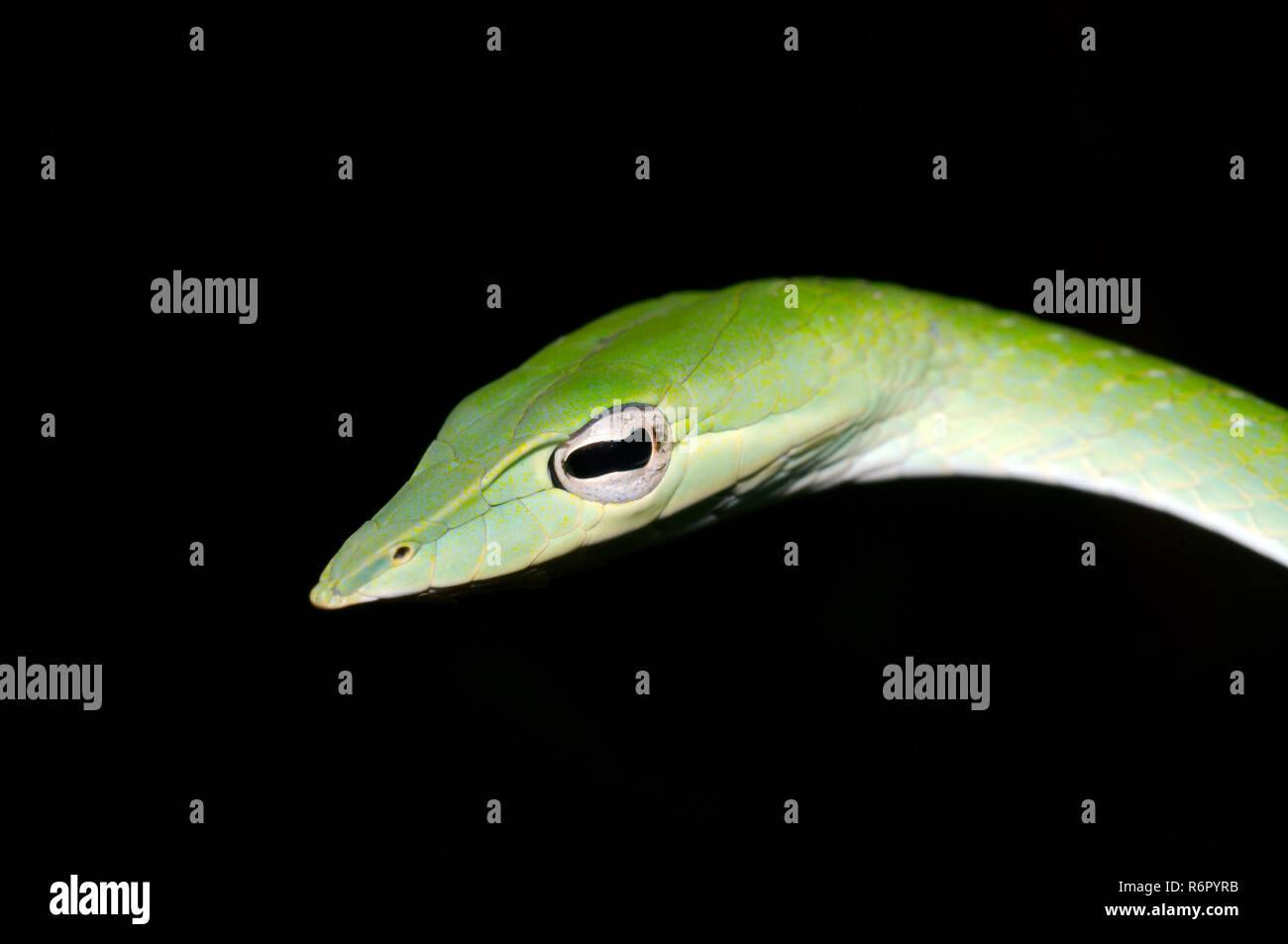 Arbre généalogique bec long serpent, serpent de vigne verte, Whip bec long serpent ou serpent de vigne asiatique (Ahaetulla nasuta) la réserve forestière de Sinharaja, parc national, Sinhara Banque D'Images