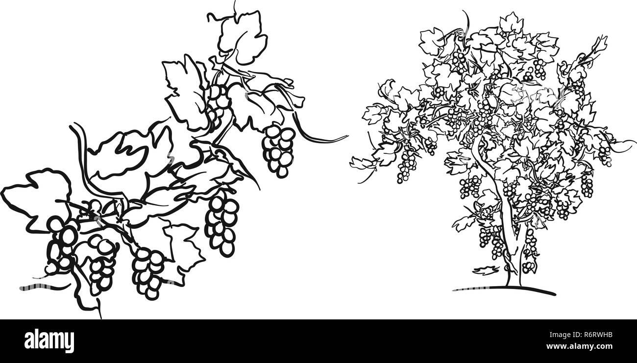 Arbre g n alogique de vigne et de fruits dessin la main l 39 alimentation vecteur illustration - Arbre genealogique dessin ...