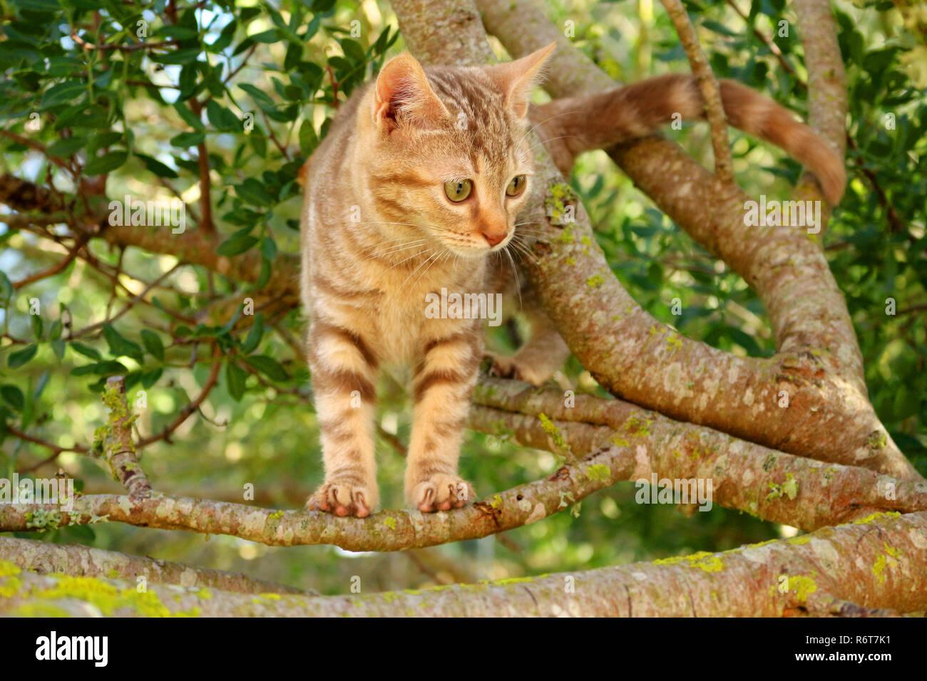 Jeune chat de gingembre, 3 mois, grimpant sur un arbre Banque D'Images