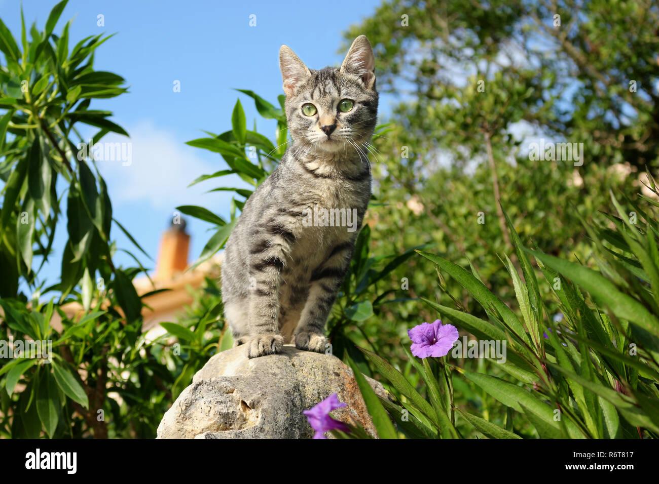 Jeune chat domestique, 3 mois, noir tabby Banque D'Images