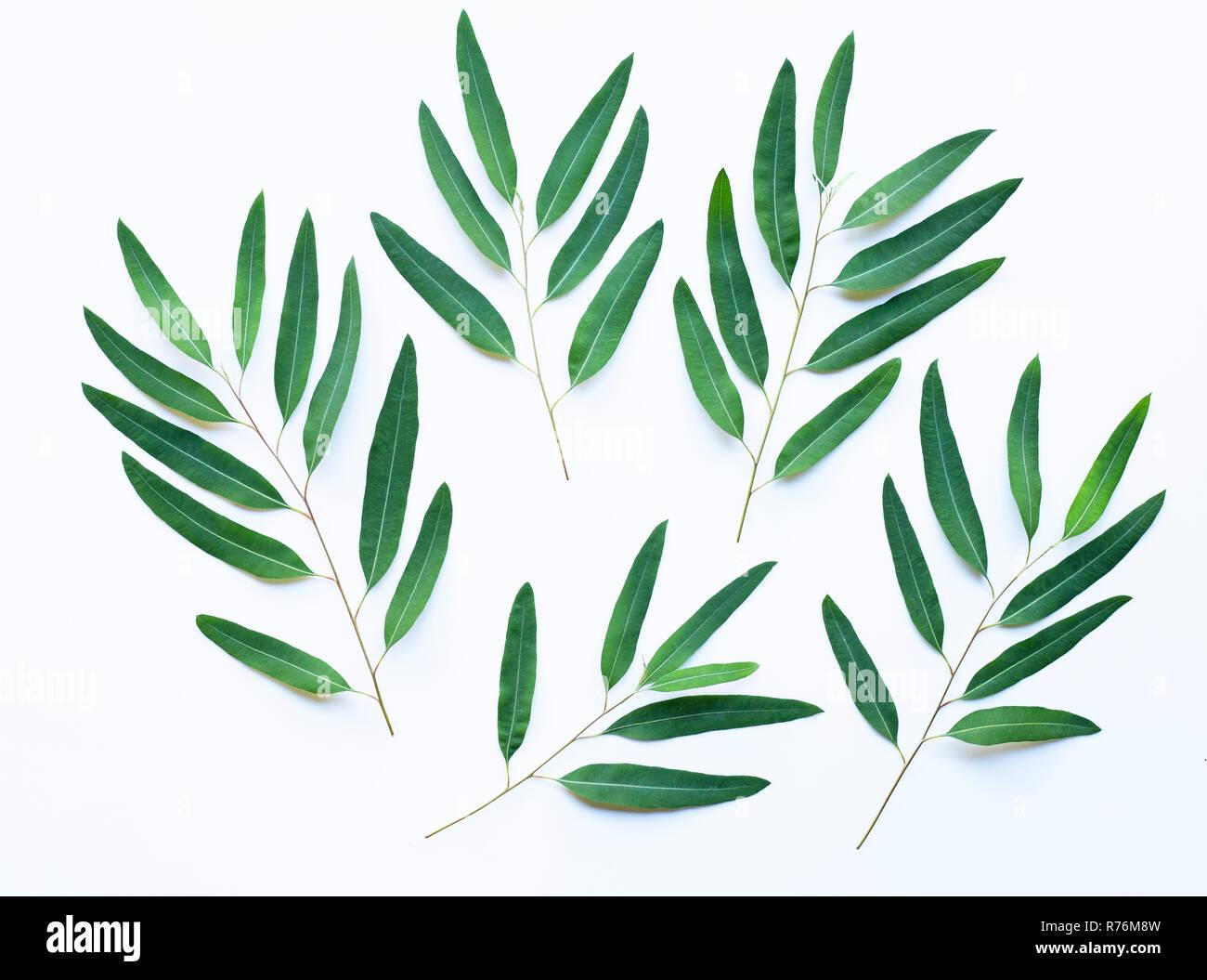 branches d'eucalyptus sur fond blanc banque d'images, photo stock