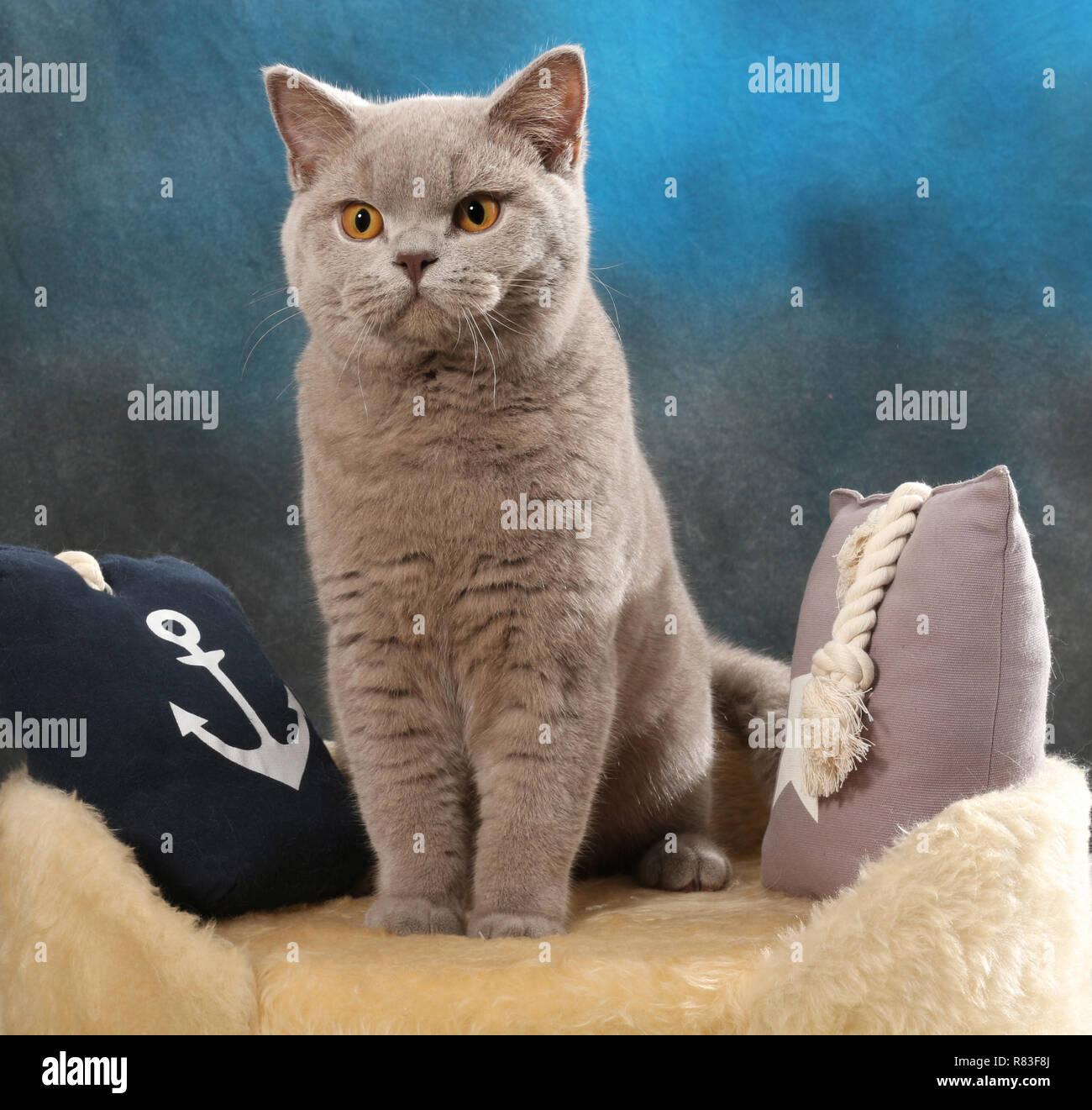 Chat British shorthair, lilac, assis entre les oreillers Banque D'Images