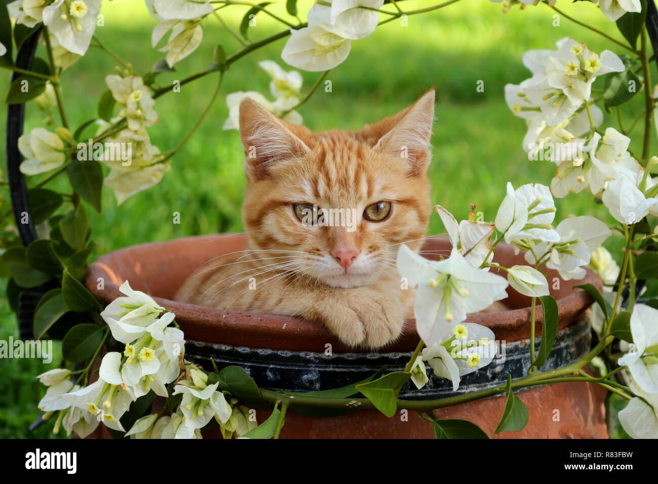 Jeune chat de gingembre, 3 mois, couché dans un pot de fleurs avec des bougainvilliers blanc Banque D'Images