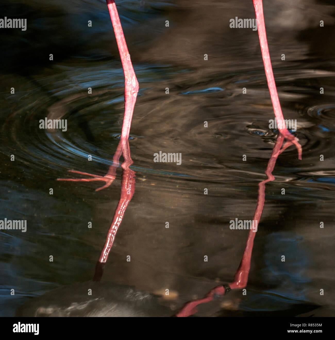 Black-winged Stilt (H.himantopus). Les oiseaux en utilisant les jambes de démontrer à la réfraction de la lumière à l'entrée de l'eau. Photo Stock