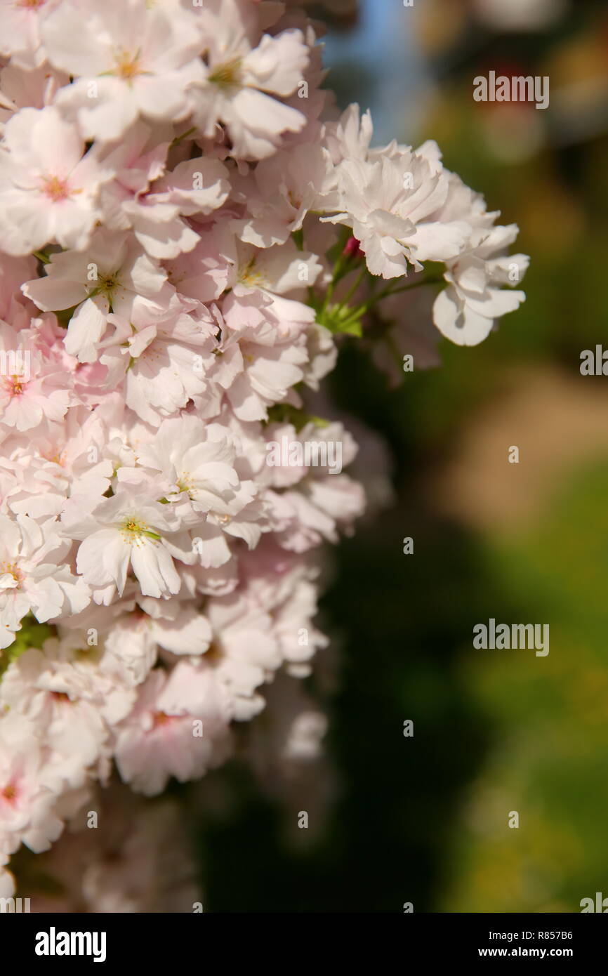 cherry pie est un arbre décoratif qui fleurit abondamment avec des