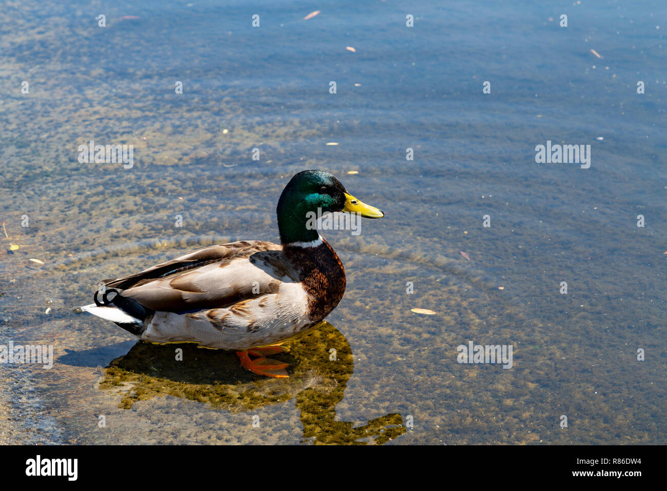 En natation canard St James Park, Londres, UK Photo Stock