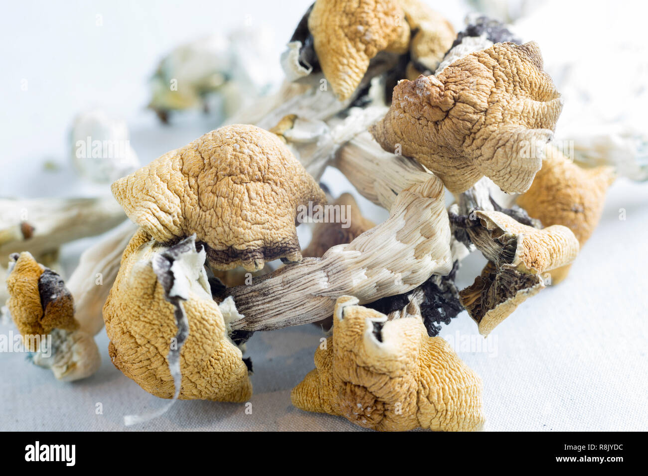 Les champignons magiques, contenant la substance psychoactive la psilocybine Banque D'Images