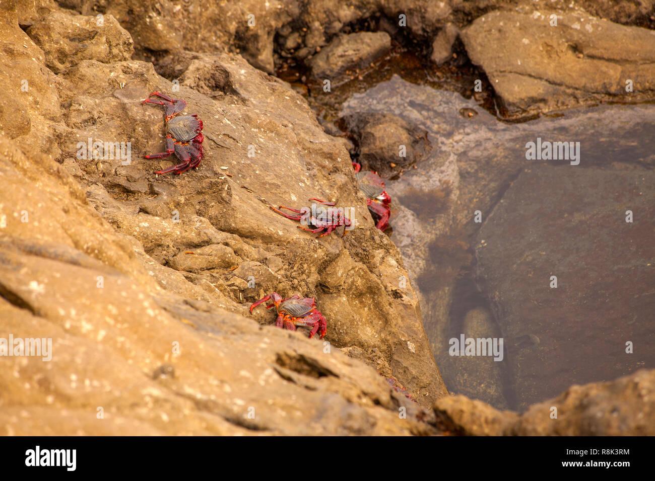 La faune de Gran Canaria - les crabes Grapsus adscensionis par la rive, zone Banaderos Banque D'Images