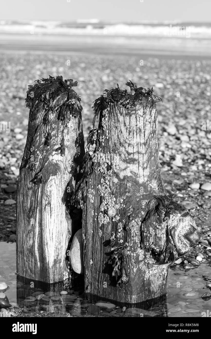 Épis, abandonnés dans le Yorkshire du Nord, offrant un accueil pour les algues et les crustacés, UK Photo Stock