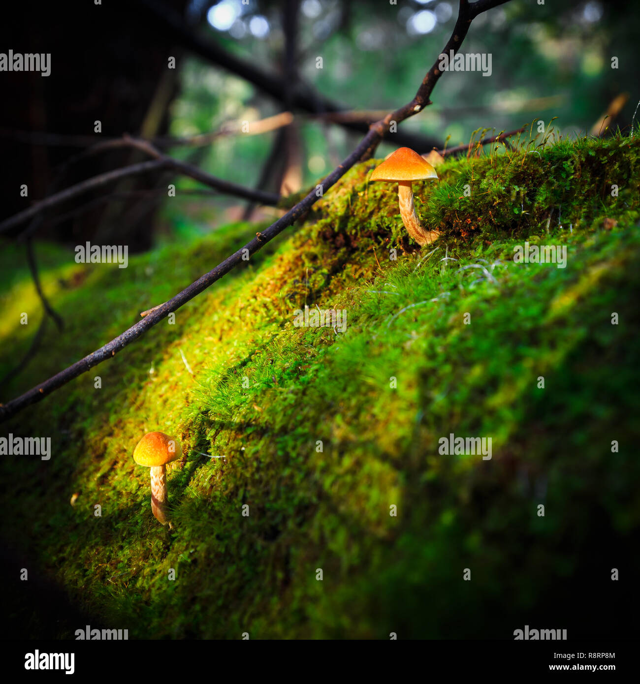 Champignons forestiers Photo Stock