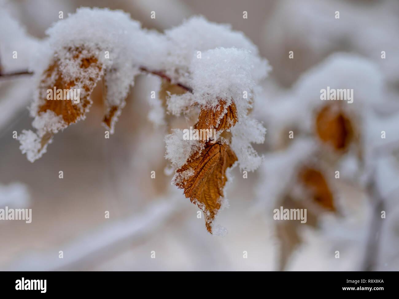 Les Feuilles De Cassis Jaune Sous La Neige Photo Stock Alamy