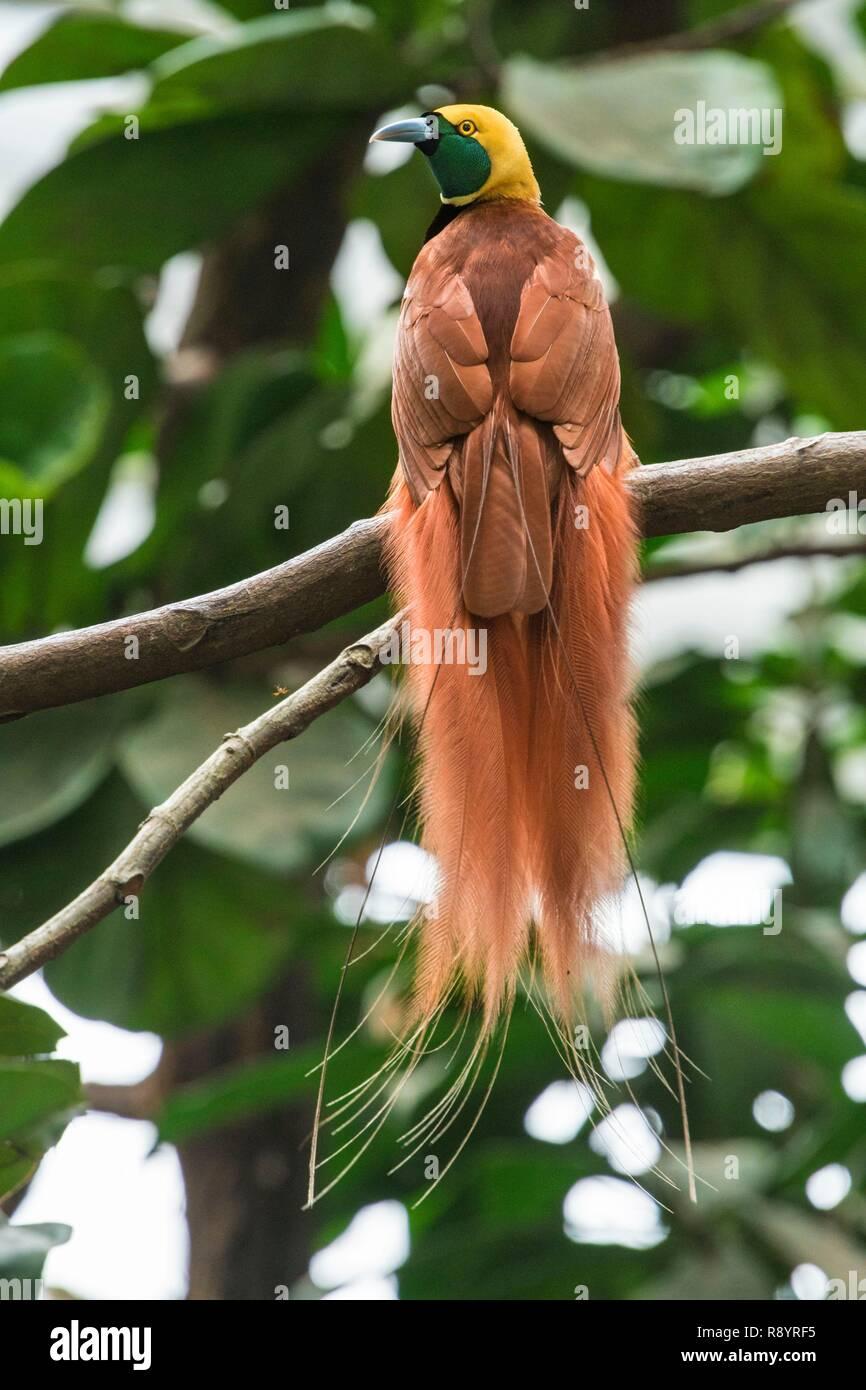 La Papouasie-Nouvelle-Guinée, District de la capitale nationale, Port Moresby, les oiseaux du paradis (Paradisaea raggiana) Photo Stock