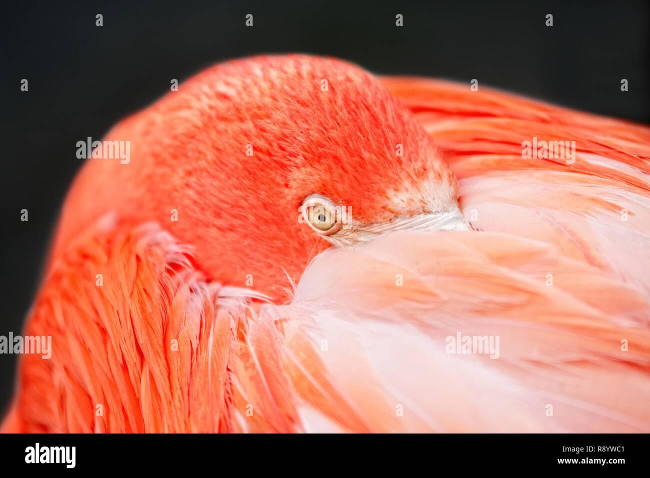 Libre d'un flamant rose - couleur corail vivant avec fond noir. Photo Stock