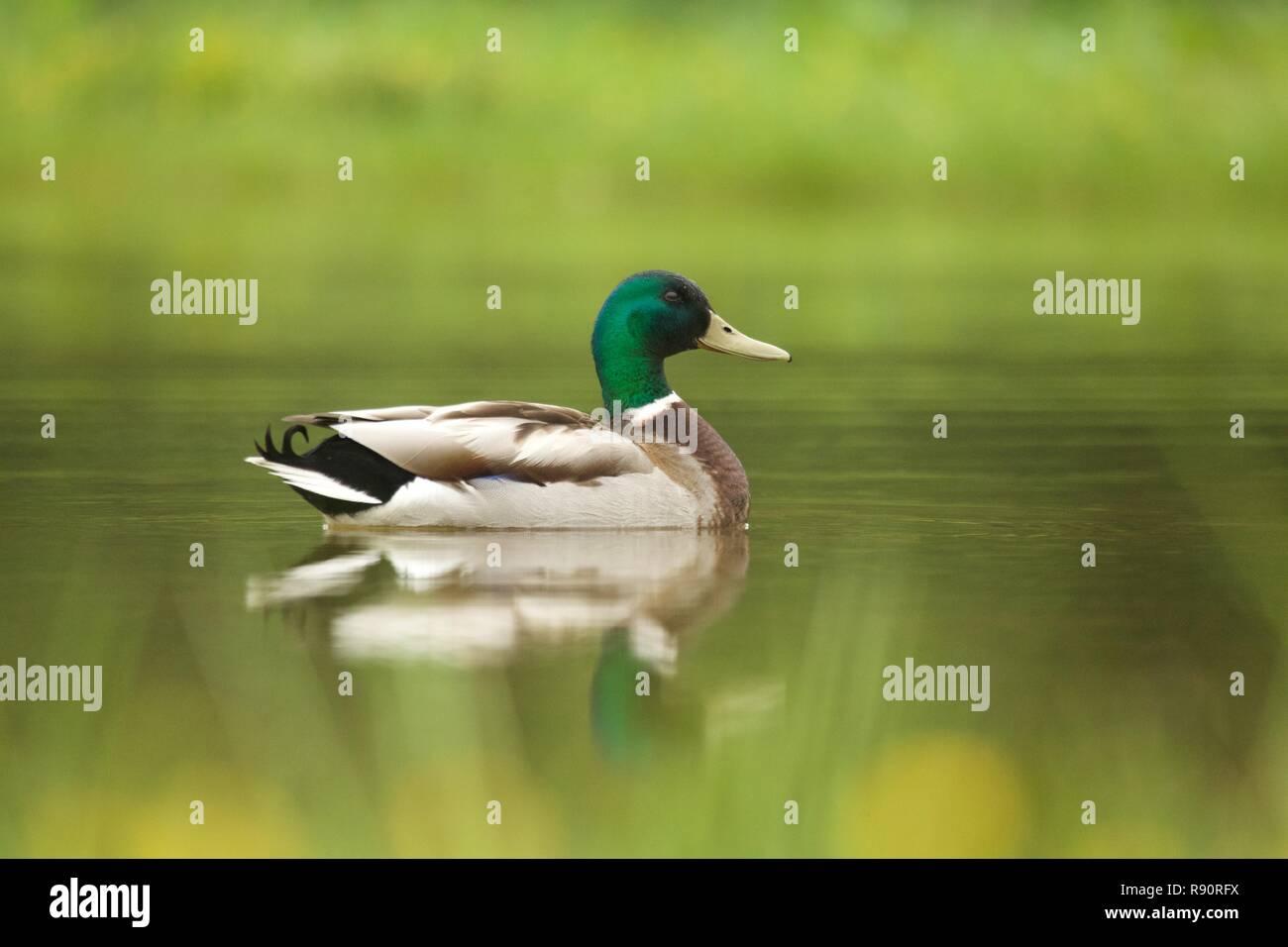 Mallard drake sur étang avec toujours la réflexion, à l'aube, le parc national de Cairngorm, Highland Ecosse Banque D'Images