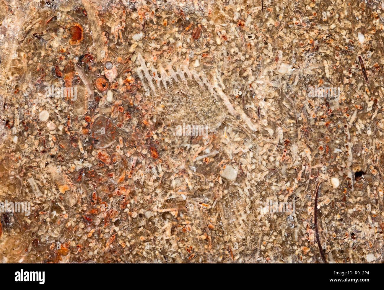 La section des combustibles fossiles, le calcaire.Les fossiles dans ces roches peuvent être de taille macroscopique ou microscopique. Banque D'Images