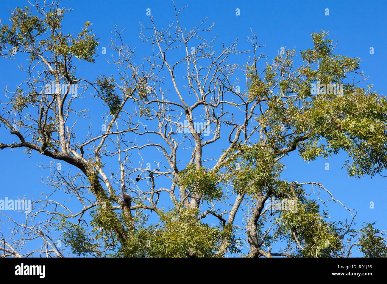 Un frêne présentant des signes de dépérissement des cendres Photo Stock