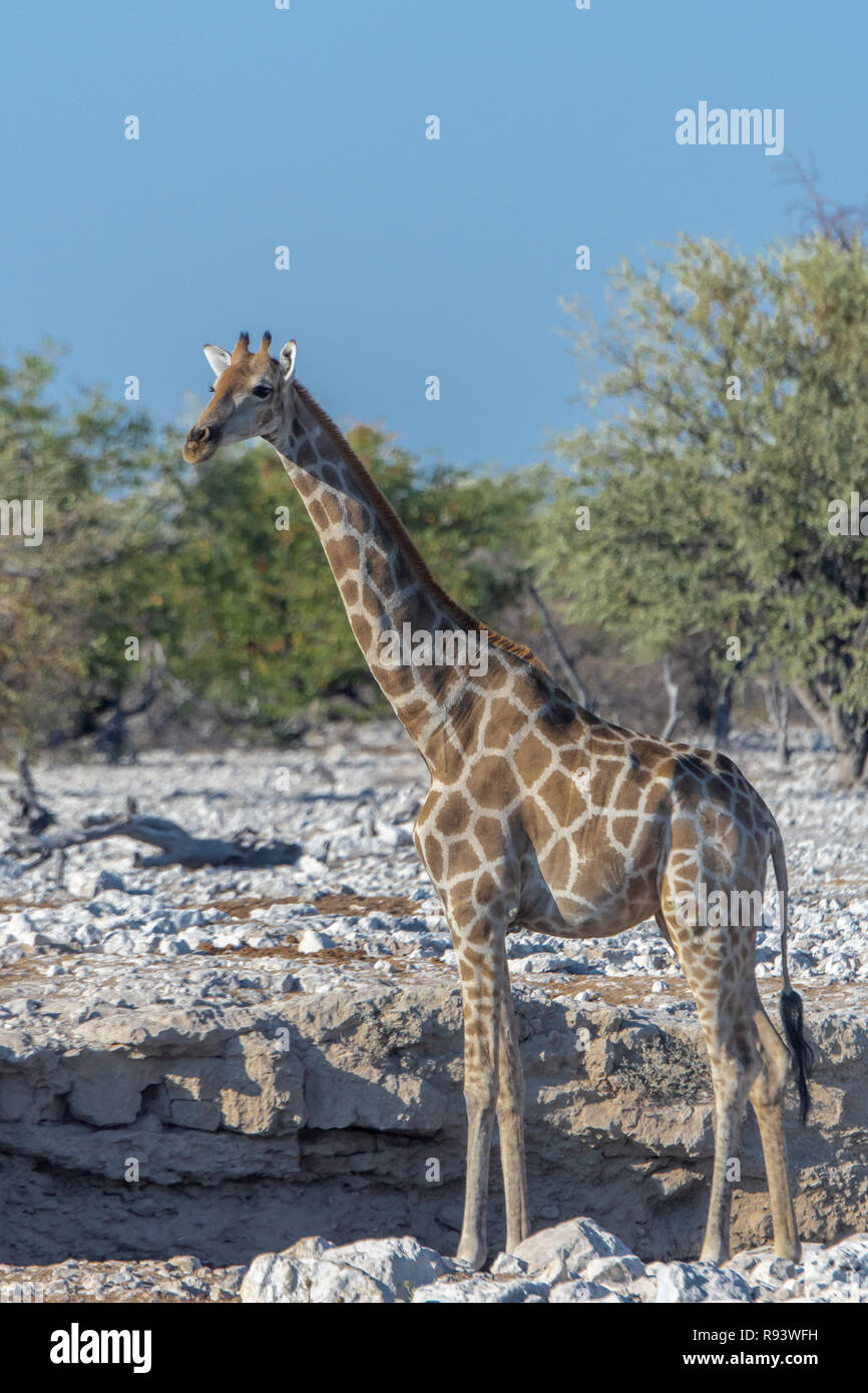 Namibian Girafe (Giraffa camelopardalis angolensis) au point d'eau en Namibie, Afrique Banque D'Images