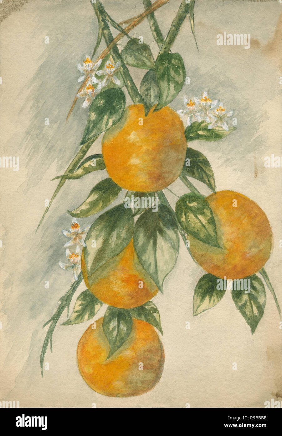C1890 aquarelle antique d'orange douce (Citrus sinensis x). SOURCE: TABLEAU ORIGINAL Banque D'Images