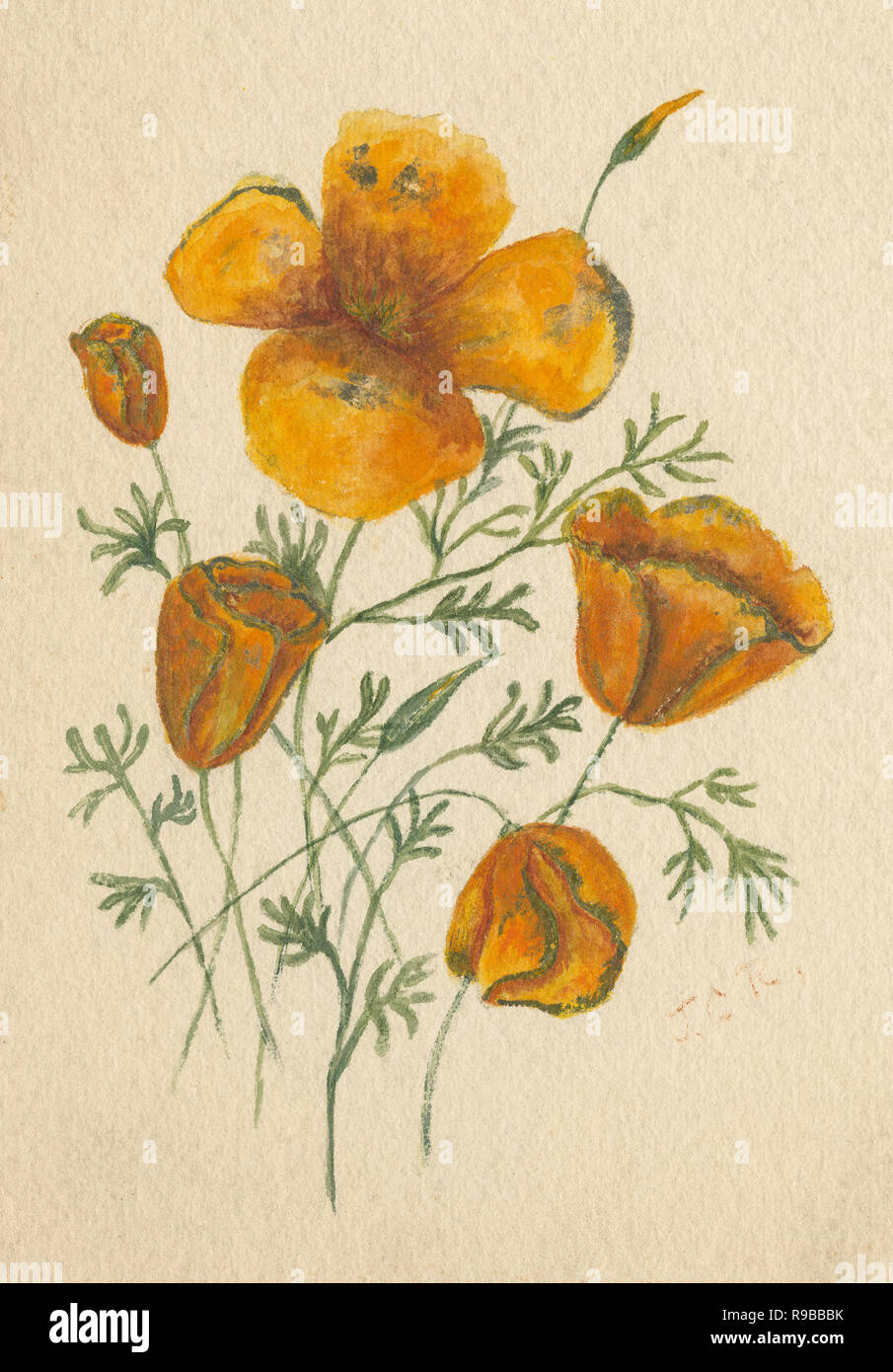 C1890 aquarelle antique de pavot de Californie (Eschscholzia californica). SOURCE : TABLEAU ORIGINAL Photo Stock