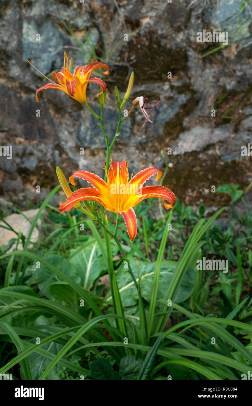 Fleurs Lys Orange Sauvage Dans La Nature Avec Un Mur A L Arriere