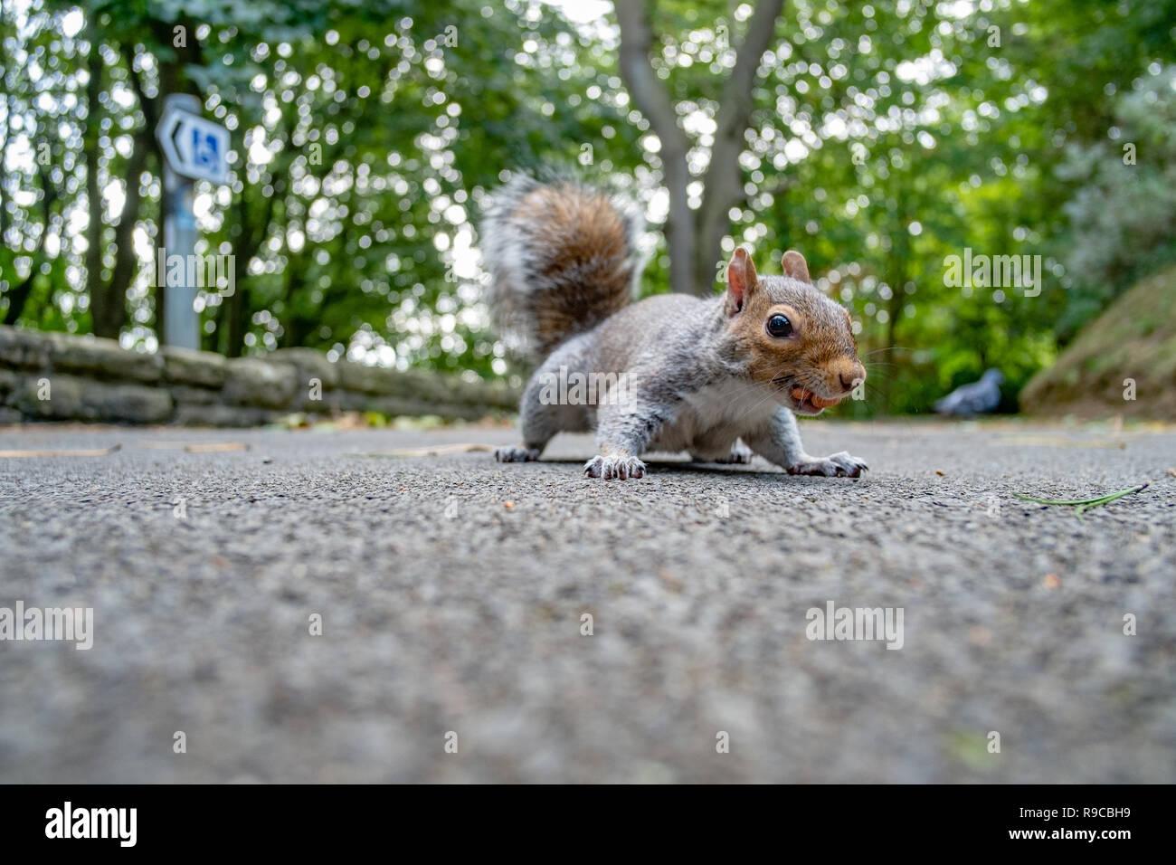 L'angle faible coup de l'écureuil gris sur le chemin Photo Stock