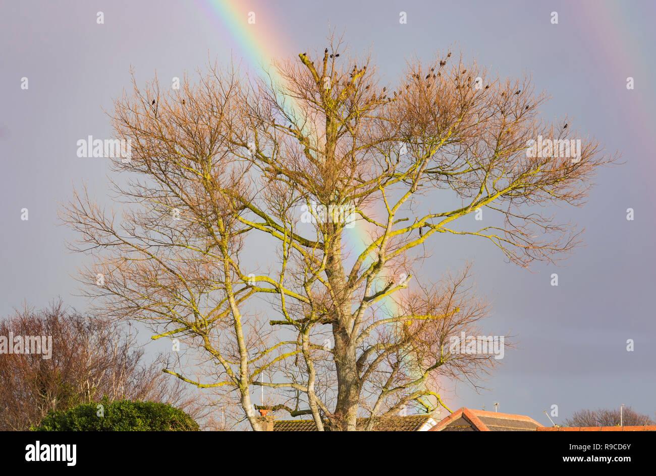 Un arc-en-ciel colorés derrière un gros arbre dans le ciel et les nuages sombres, en hiver au Royaume-Uni. Photo Stock