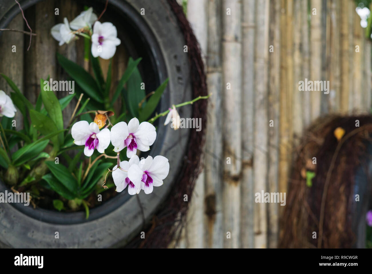 L\'orchidée blanche ont été plantés dans le recycler les pneus dans ...