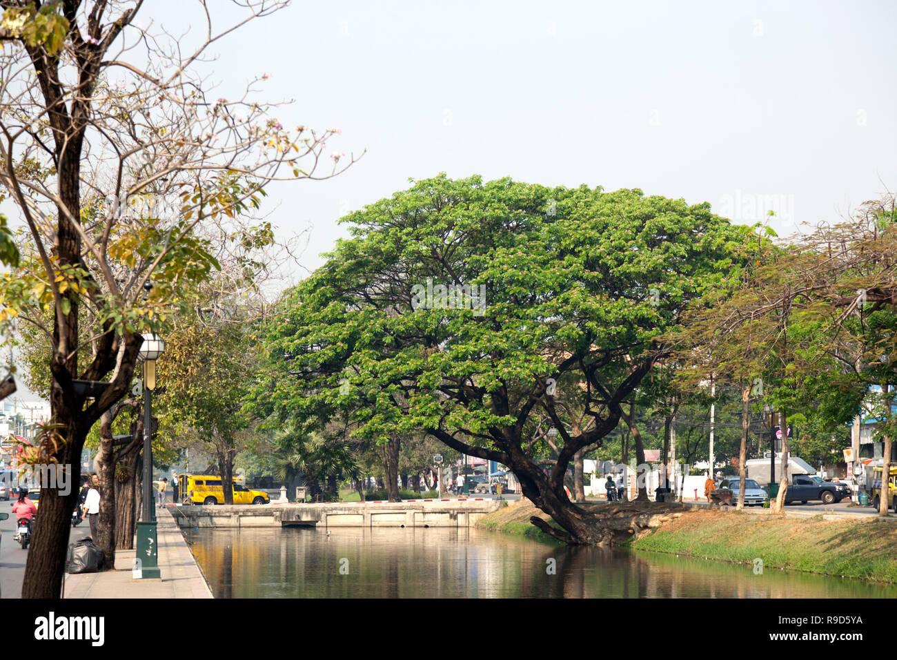 Une remarquable au milieu d'albizia arbres plantés le long de la vieille ville de Chiang Mai Chiang Mai - (nord de la Thaïlande - Asie). Photo Stock