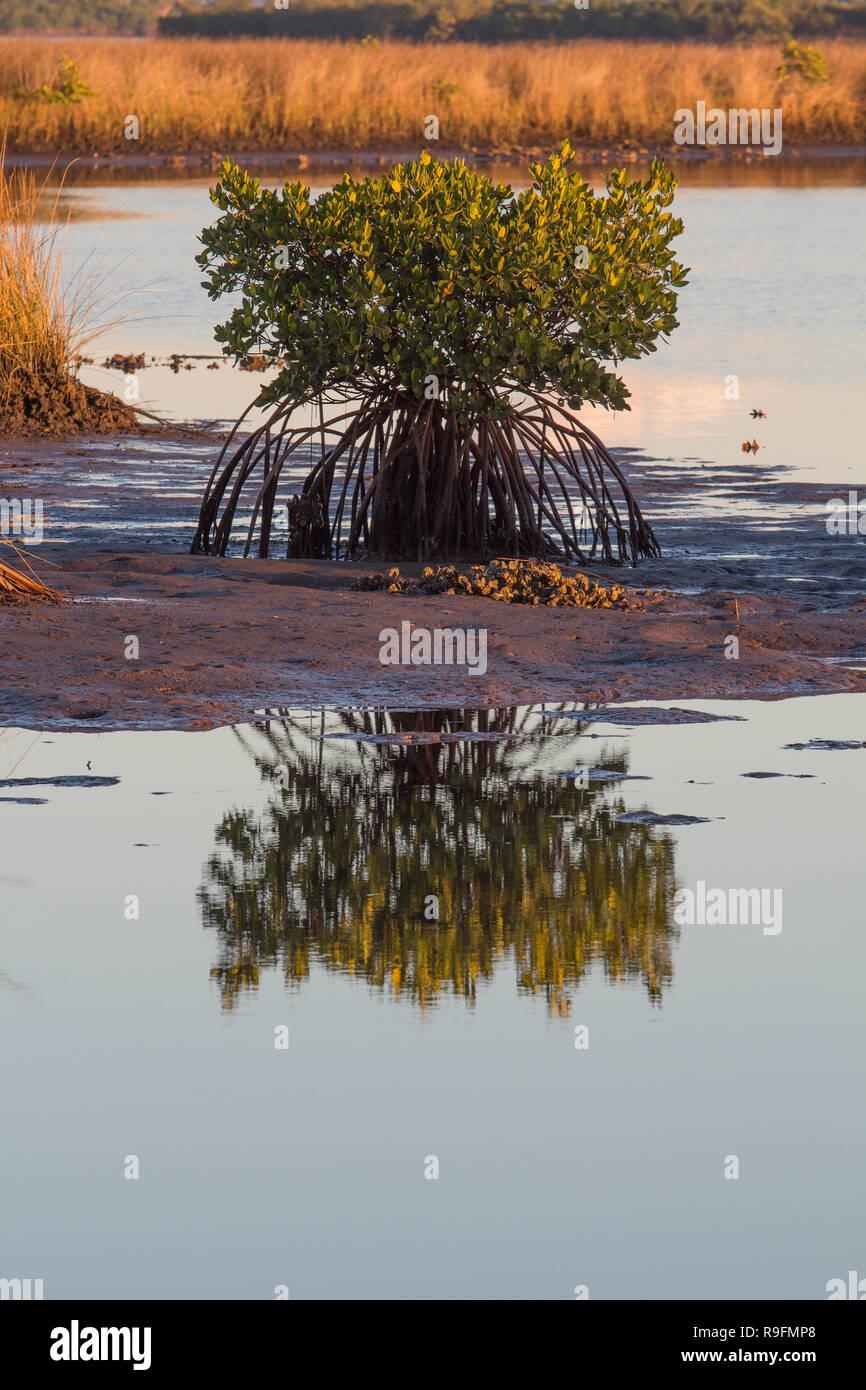 Une mangrove solitaire dans les marais près de l'embouchure de la rivière de cristal dans le comté de Citrus, en Floride Banque D'Images