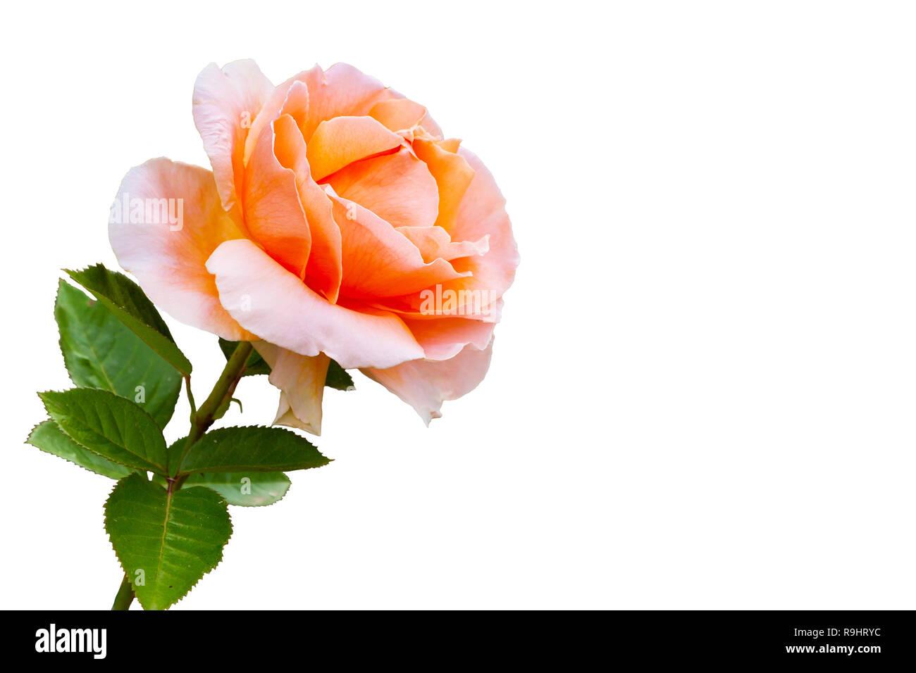 Close-up belle fleur rose isolé sur fond blanc. Des vacances post card Photo Stock