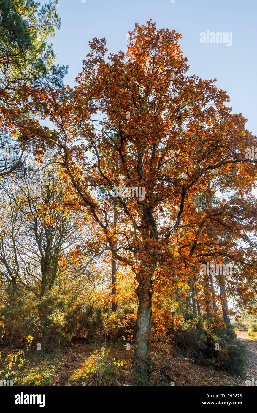 Arbre de chêne rétroéclairé (Quercus robur) en couleurs de l'automne doré, Frensham Little Pond, Farnham, Surrey, au sud-est de l'Angleterre, dans l'après-midi sur une journée ensoleillée Banque D'Images