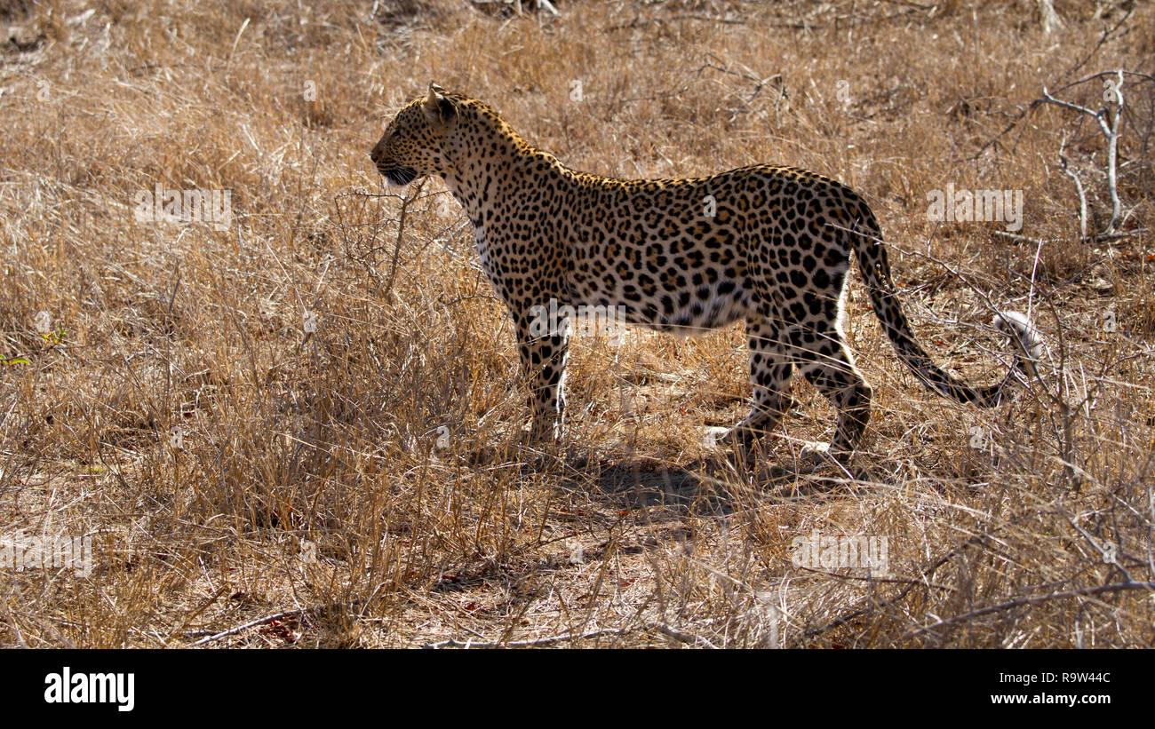 Femmes enceintes leopard (Panthera pardus) Parc National Kruger, Afrique du Sud Photo Stock