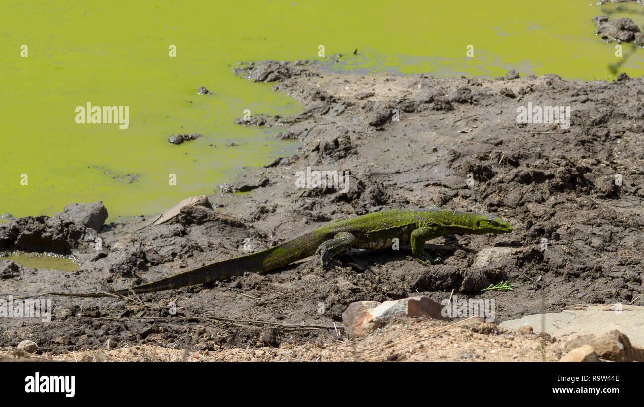 Tout le corps de l'eau un gros varan marcher hors de l'eau en Afrique du Sud Photo Stock