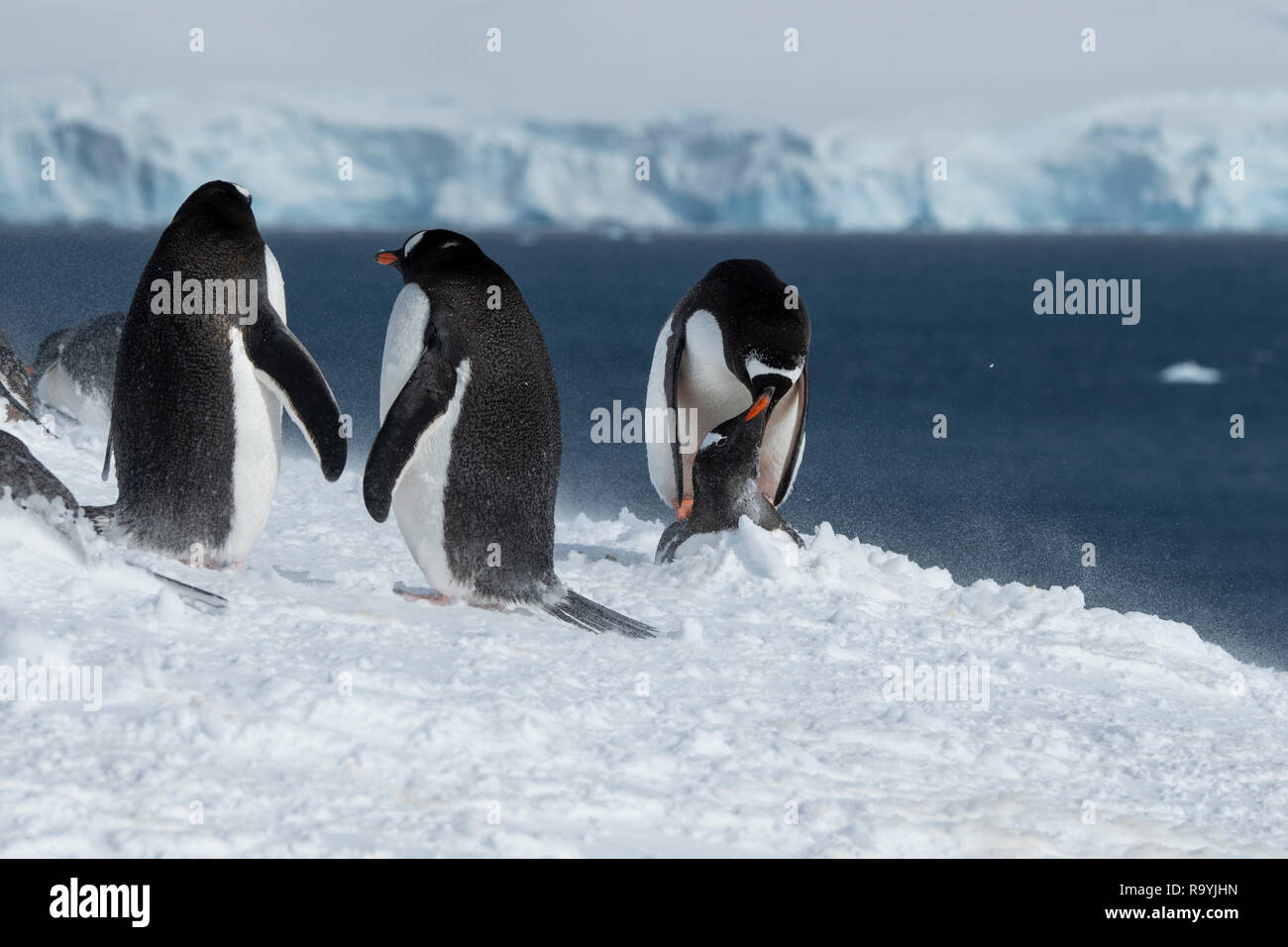 L'antarctique, du détroit de Gerlache, archipel Palmer, de l'Île Wiencke, pointe Damoy. Manchots de nidification dans la poudrerie, paire d'accouplement. Photo Stock