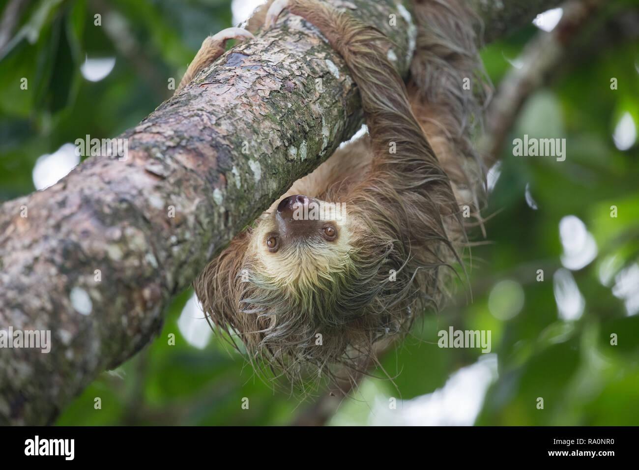 Un sauvage deux doigts paresseux au Costa Rica. Photo Stock